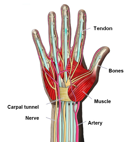 Hand Surgery Turkey Simple Hand Anatomy